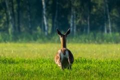 Łania jelenia
