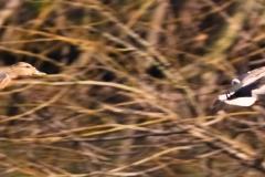 Kaczka Krzyżówka