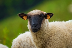 Owca2